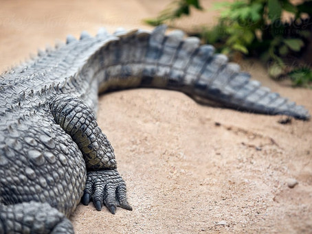 Alligators Can Regrow Severed Tails, Surprising Scientists - National Geographic