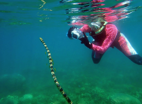 Studying Sea Snakes? Time to Call the 'Fantastic Grandmothers' - New York Times