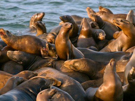 California Sea Lions Keep Getting Shot by Fishermen  - National Geographic