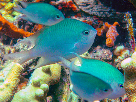 These Damselfish are Devoted Parents—Even When the Kid Isn't Theirs - Hakai Magazine