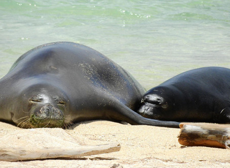 'Kitty litter' Parasite is Wiping Out One of Earth's Rarest Seals  - National Geographic