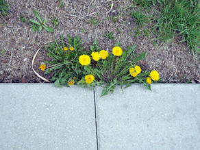 In Your Garden: What, actually, is a weed?