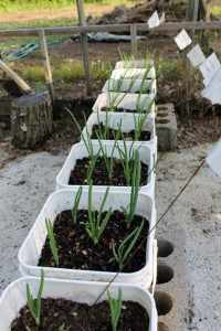 A row of 5-gallon buckets filled with onions. These are just a few of the buckets that fill Ken Hovet's garden near Browerville. Photo by Nancy Leasman