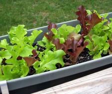 lettuce in rain gutter