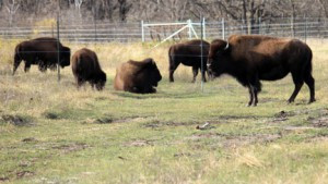 The pure bison herd viewing trail opened to the public in mid-October at Minneopa State Park. Photo by Steve Palmer