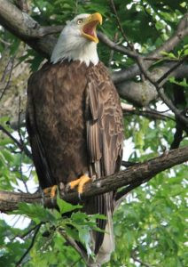 "Eagles are common visitors and inhabiters in the refuge. Photo by Mary ""Karlie"" Carlson"