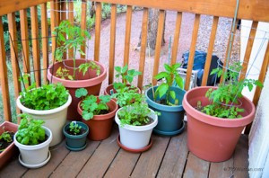 Many vegetables can be grown in containers from seed to harvest.