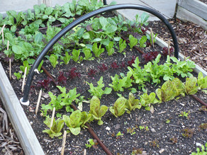 Country Gardens: Grow your own salad
