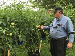 Doug Yozamp strolls through rows and rows of tomatoes at his home in St. Cloud. He spends several hours a day with his tomatoes this time of year. Photo by Frank Lee