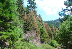 BrownPineTrees