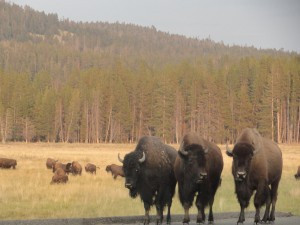 Buffalo Gang roaming the roads of Yellowstone