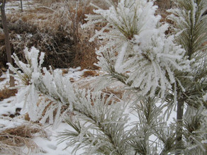 A love affair with conifers