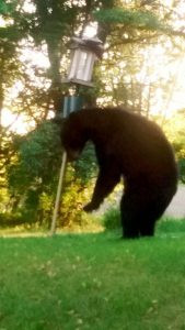 This bear was spotted near Princeton. It made an appearance on the deck of Jerry and Annie Ferrier then checked out their bird feeder. Contributed photo