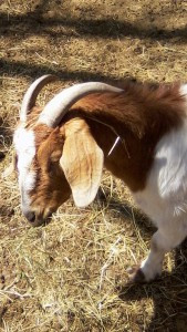 One of Donna Ebner's goats. Photo by Karen Flaten
