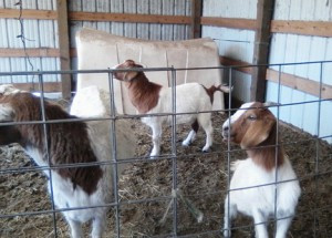 Donna Ebner uses goats milks to produce soaps and lotions. Here area  few of the goats at her rural Clearwater farm. Photo by Karen Flaten