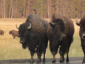 Yellowstone on wheels