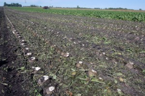 Slicing the tops off the sugar beets is called defoliating, something Earl has done every fall for many years.Photo by Scott Thoma