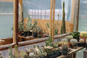 Many-kinds-of-cactus-live-in-Daiv's-greenhouse