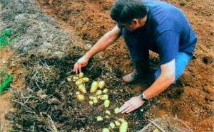 digpotatoes