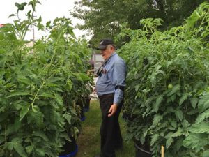 Doug Yozkamp, of St. Cloud stands between two rows of tomato plants that are taller than he is. The 71-year-old raises thousands of pounds of tomatoes each year. Contributed photo