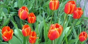 Tulips will soon be popping up throughout Minnesota... once the snow melts.