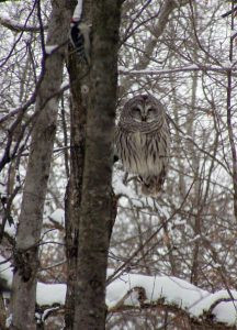 Barred owl on Tim's land. Photo by Jan King