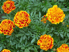 Country Gardens: Many Faces of Marigolds