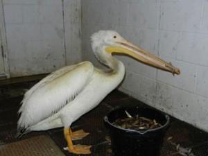 Bill-the-Pelican