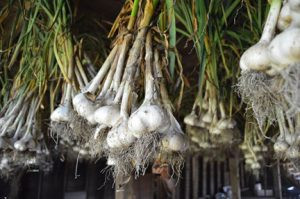 Garlic dries on Sunny's farm. Photo by Eric Posz