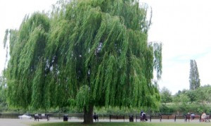 WeepingWillow
