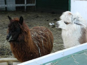 Some of the animals at the Rockin C Horse Farm, in Donnelly. Photos by Jen Bergerson