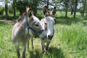 Besides the great selection of consignment items, there are unique attractions, including the donkeys. Photo by Nancy Leasman