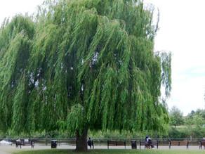 In Your Garden: Sad Trees