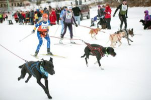 The skijor race in Mora includes dogs. Photo by Photo by Trevor Cokley