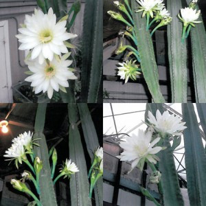 Blooms at different times over several evenings on Borgheiinck's night-blooming cereus.    Photo by Tony Borgheiinck