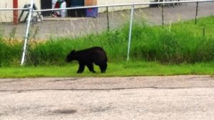 A bear visited Buffalo in June. This photo was taken of the bear by Mary Schuster of IntegriPrint in Buffalo.