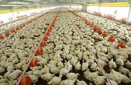 Resultado búsqueda Google: Fábrica pollos