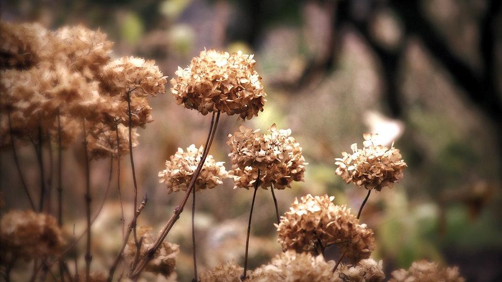 Fleurs_séchées_naturelles