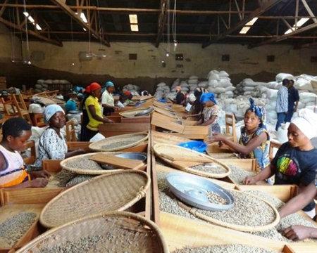 Congo Kivu 3 Organic Fully Washed