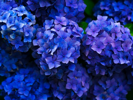 Jack'd Up Gardening #15 - Hydrangea Blooms