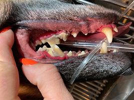 dog dental.jpeg