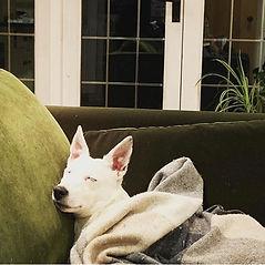 Sleeping white terrier dog