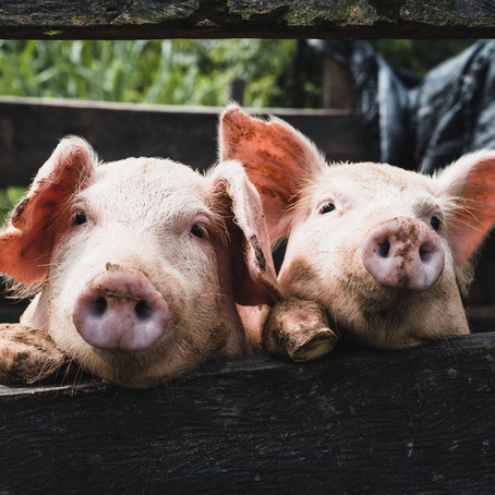 Our objection to a proposed pig farm in Powys, Wales