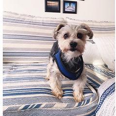 Cute little terrier dog in harness