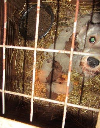 Dog in wooden crate in Culliva puppy farm in Ireland