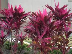 Red Sister Cordyline