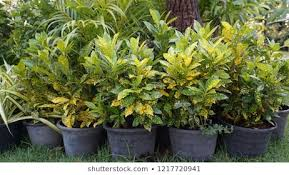 Gold-dust Croton
