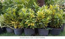 Gold-dust Croton