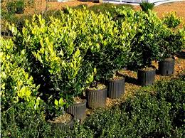 Howard's Ligustrum