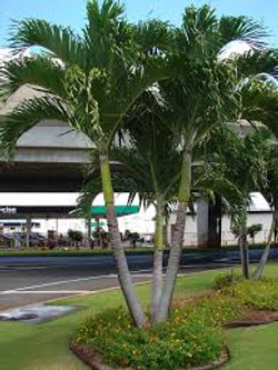 Triple Christmas Palm